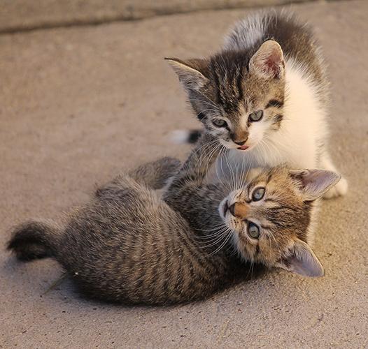 Мачкови или мачци