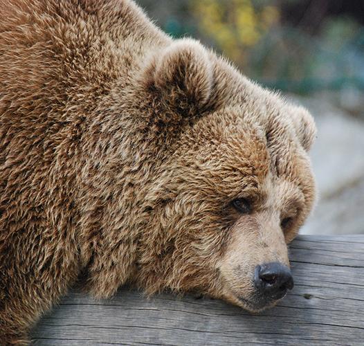 Мечки или мечака